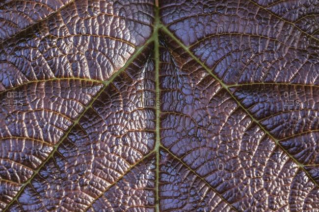 Leaf veins of a purple leaf