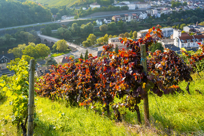 Viticulture on the Rochusberg near Bingen, in the background the Nahe with the Drususbrucke and Bingerbruck