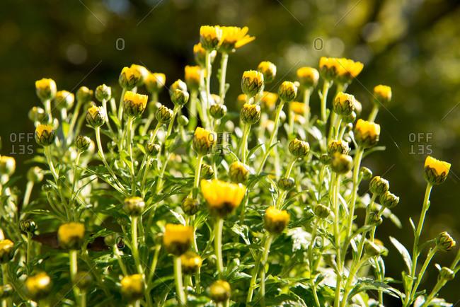 Yellow chrysanthemums in the sun