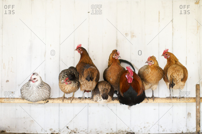 Group of chickens perching on pole in chicken coop