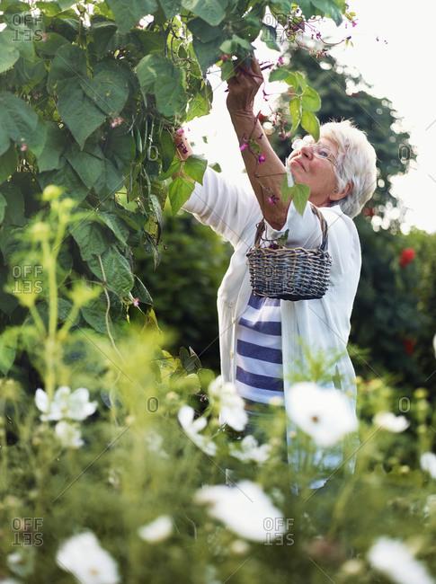 Elderly woman harvesting beans outside
