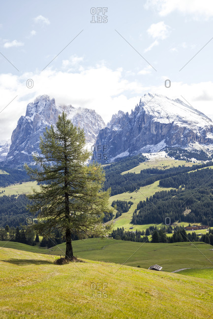 Pine tree on meadow, mountains on background