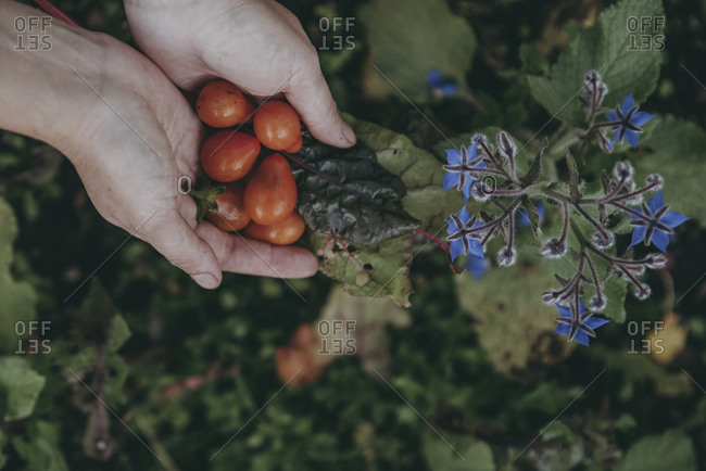 Hands holding bunch of tomatoes