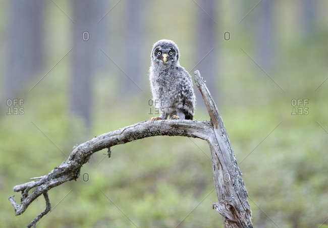 Young owl perching on branch