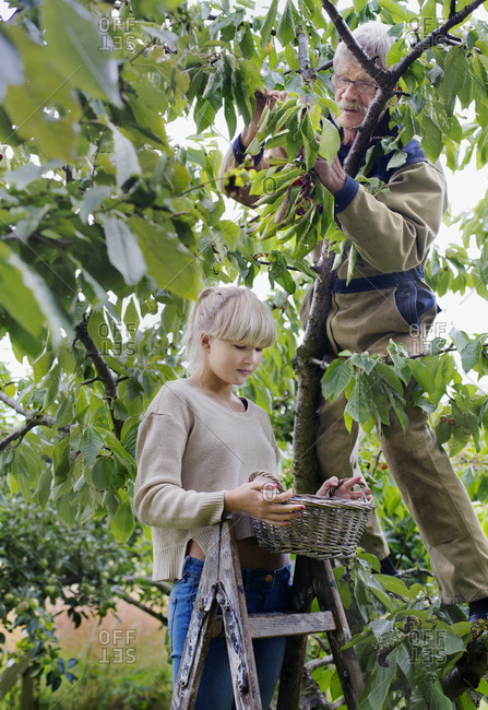 Grandfather with granddaughter picking cherries