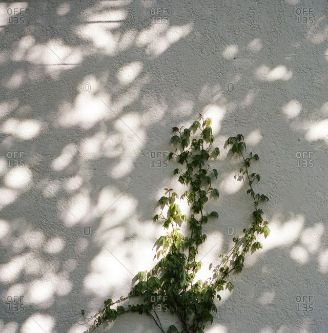 Vine climbing up a white stucco wall