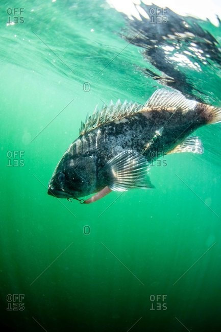 Underwater view of fish being caught on a line