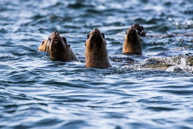 Seals popping up through the surface of the ocean