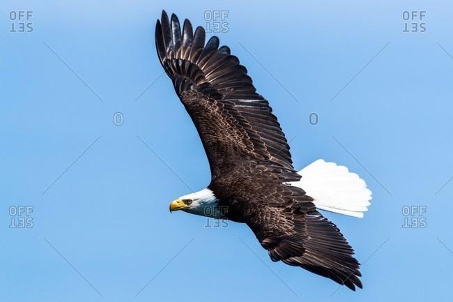 Bald eagle flying in blue sky