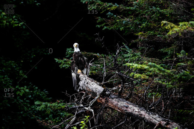 Bald eagle perched on a fallen tree in the forest