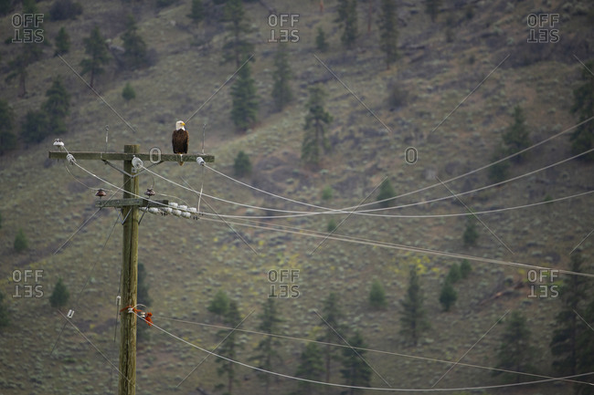 A bald eagle perched on a power line in rural British Columbia