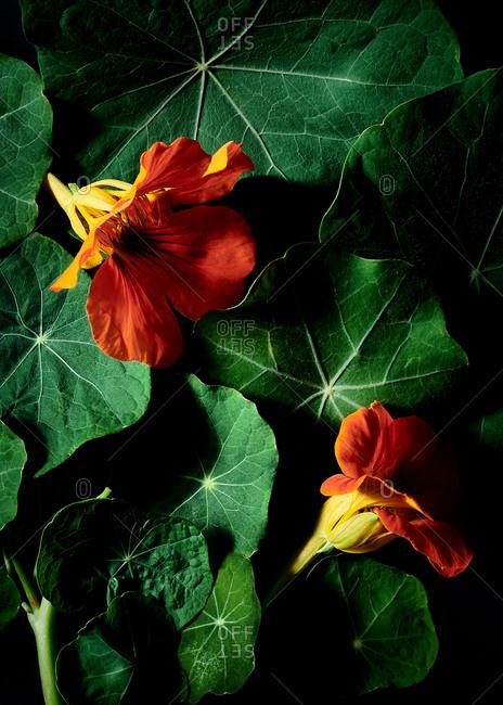 Close up of edible orange Nasturtium flowers and leaves