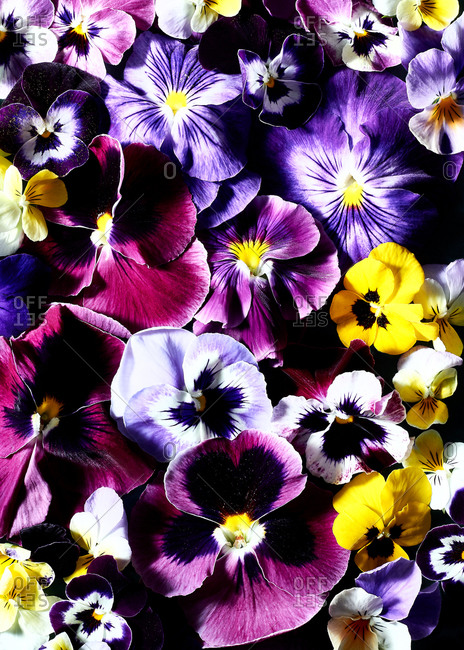Close up image of pansies and viola flowers, in purple and yellow colors