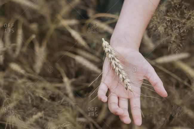 Girl's hands touching wheat ears