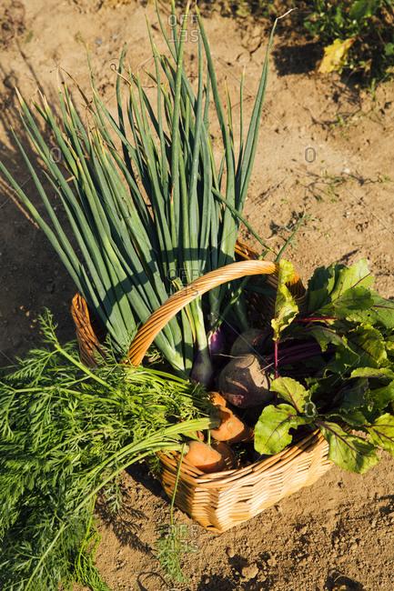 Basket of freshly harvested homegrown vegetables