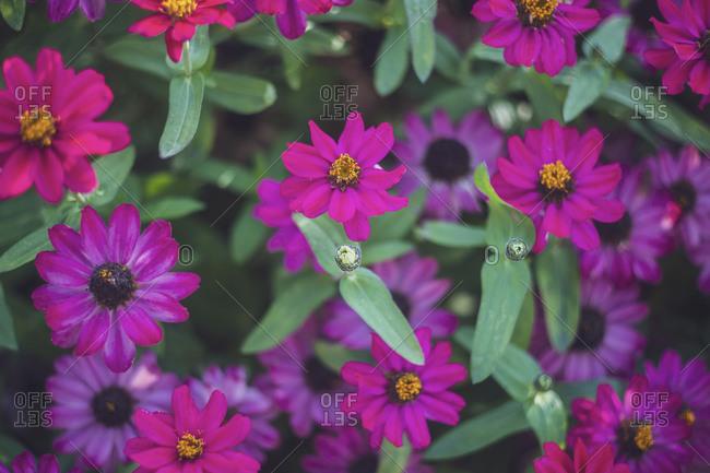 Purple blooming zinnias (Zinnia haageana)