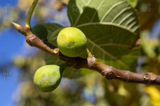Figs growing on tree branch