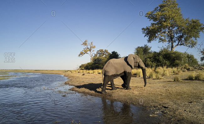 Elephant walking out of river at Caprivi Strip- Namibia
