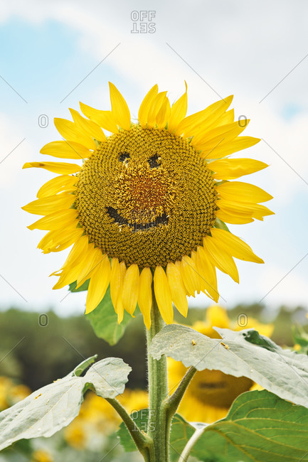 Close-up of sunflower with smiley face in field against sky