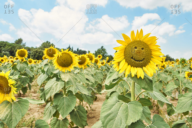 Close-up of sunflowers with smiley face in field against cloudy sky
