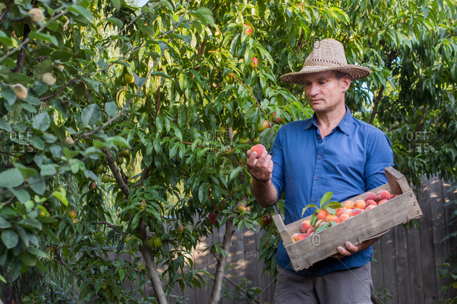 Organic peaches picked by hand from the orchard, in summer