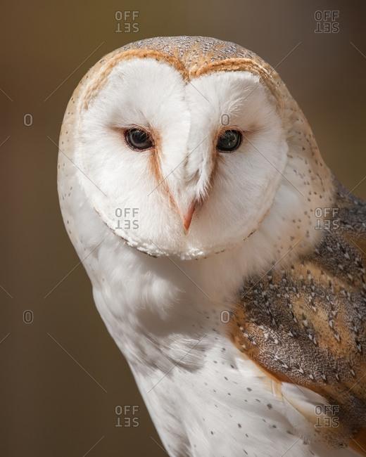 A british barn owl portrait
