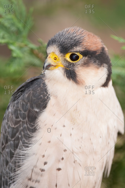 A lanner falcon perched for a portrait
