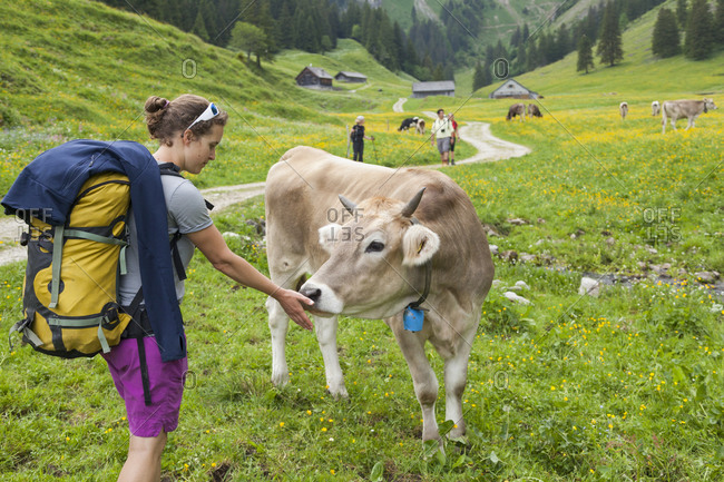 Hiker offers hand to cow in pasture, alpstein, appenzell, switzerland