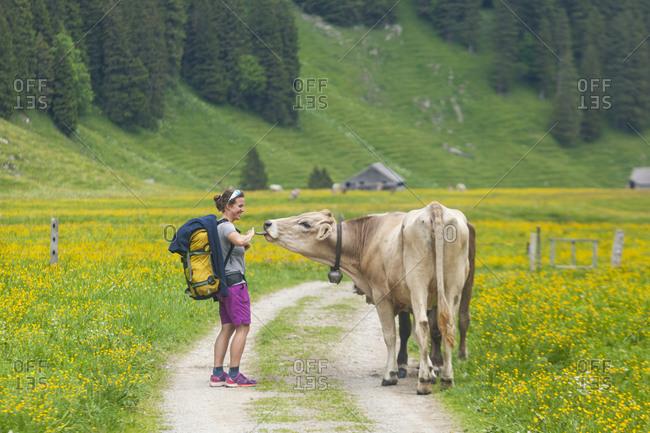 Cow licks hiker on rural road, alpstein, appenzell, switzerland
