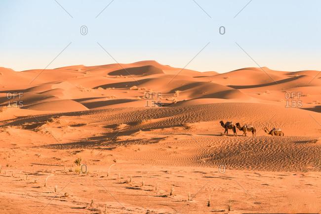 Camels in caravan through the desert dunes of erg chebbi, morocco