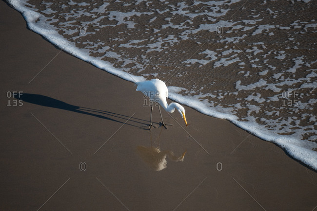 A snowy egret scans the shoreline for food