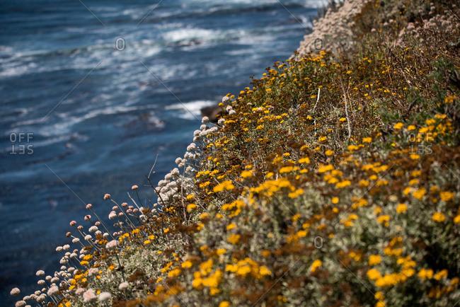 Wildflowers along the coast of california