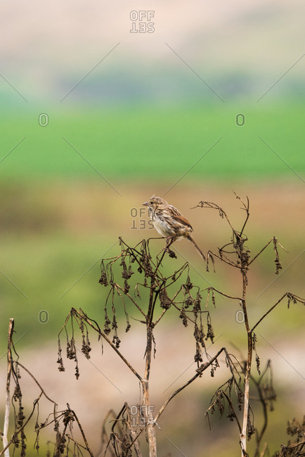 A song sparrow perches on dried out wildflowers