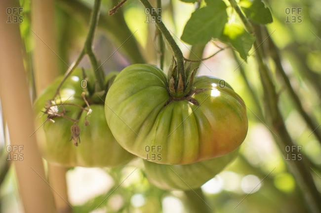 Genuwine beefsteak green tomato on vine