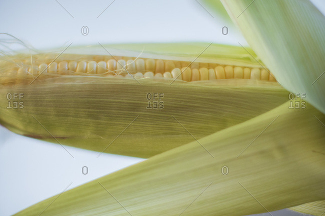Yellow corn peeled back during harvest