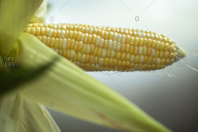 Yellow corn peeled in a detail
