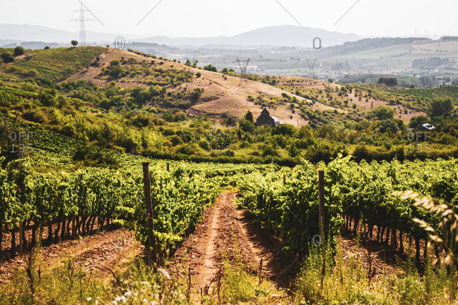 Vineyards in rows in the field against blue sky