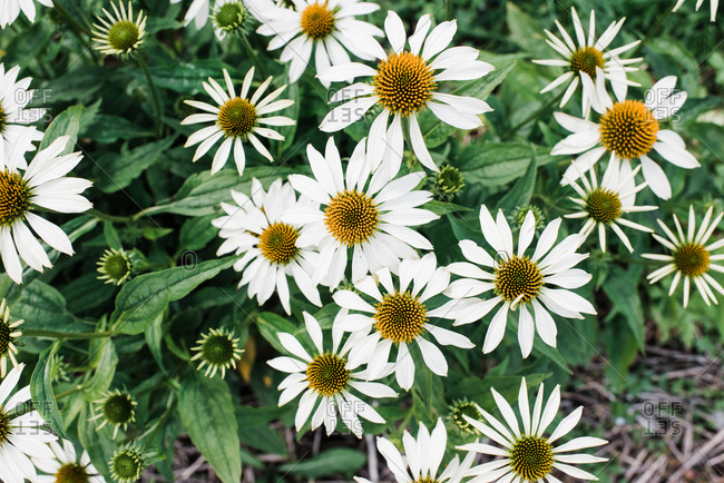 Over head view of giant daisies in a green garden in summer