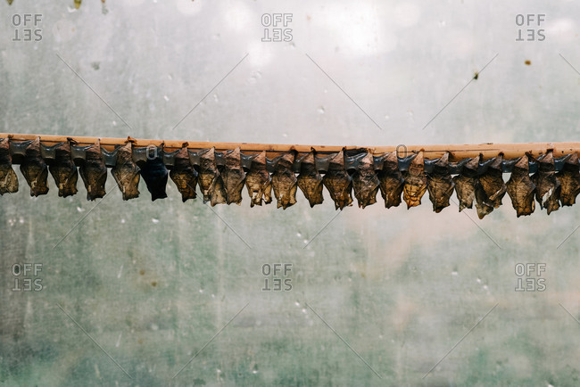 A line of butterfly cocoon chrysalis