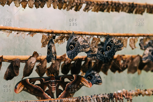 Butterflies and cocoons in a butterfly house