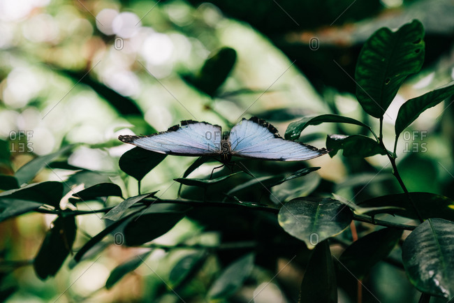 Beautiful blue butterfly sitting on a green leaf