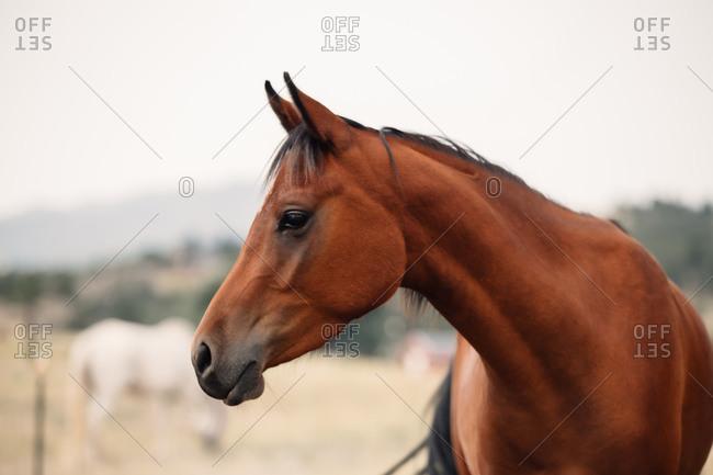 Profile of arabian horse in a field in the summer