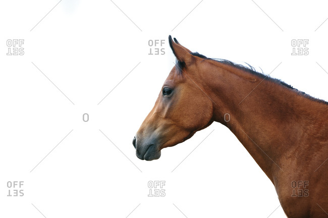 Arabian horse with white background
