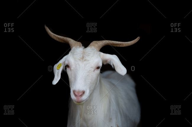 White goat looking straight ahead on black background