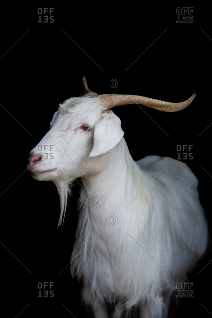 Cashmere goat looking sideways on black background