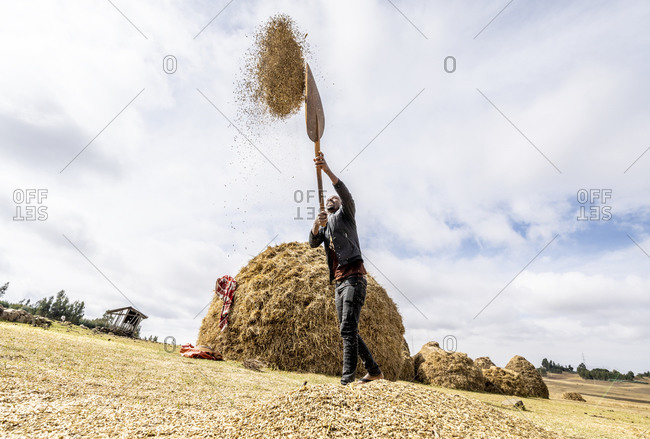 January 26, 2020: Farmer throwing wheat up in the air during threshing, Wollo Province, Amhara Region, Ethiopia, Africa