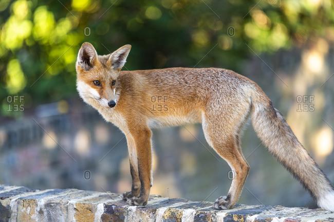 An urban fox cub on a garden wall in London, England, United Kingdom, Europe