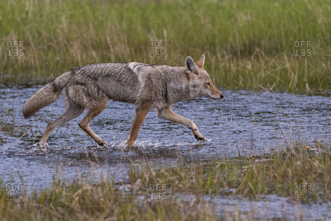 Coyote (Canis latrans) running through a flooded meadow, Banff National Park, UNESCO World Heritage Site, Alberta, Canada, North America