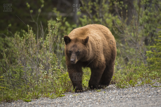 Cinnamon colored black bear (Ursus americanus), Spray Valley Provincial Park, Kananaskis Country, Alberta, Canada, North America