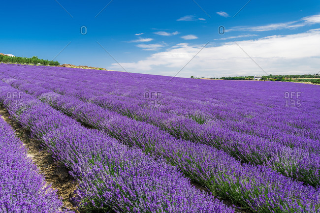 Lavender field with magenta landscape against blue sky with clouds, Greece, Europe